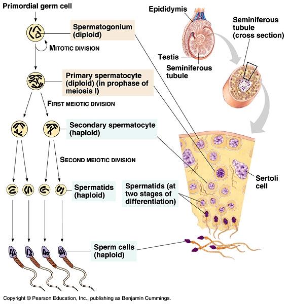 illustration af spermatogenese