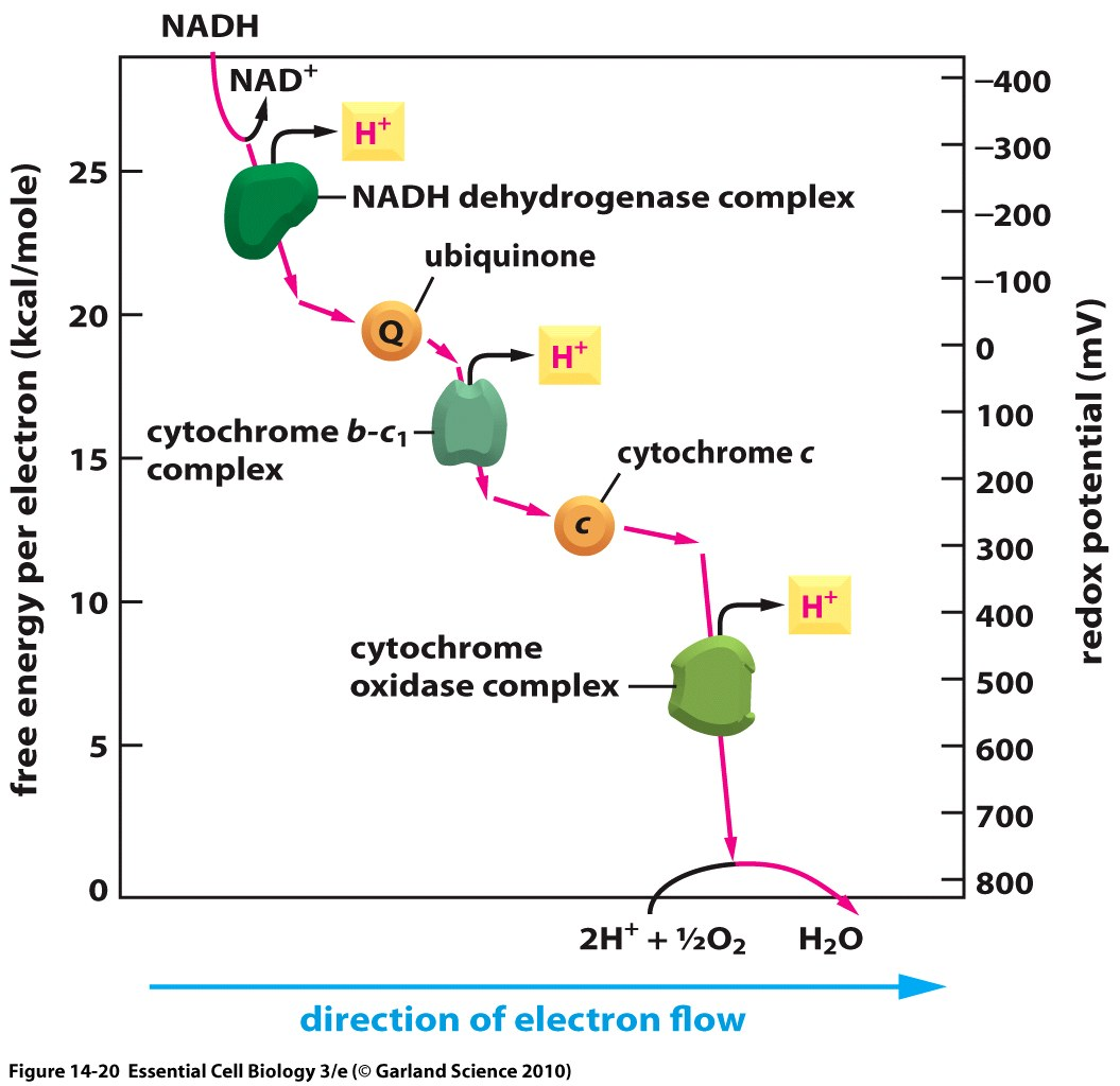 Redox potentials for electron transport chain in mitochondrion redox potentials for electron transport chain in mitochondrion ccuart Gallery